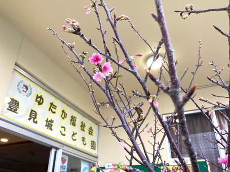 1月25日(月) 豊見城こども園にも桜が咲いたよ♪