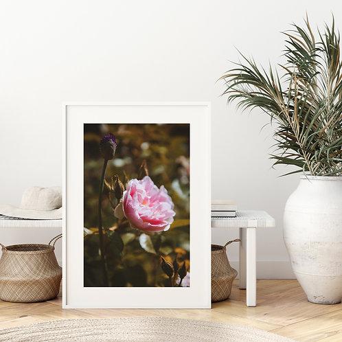 'Pink Blush Rose'