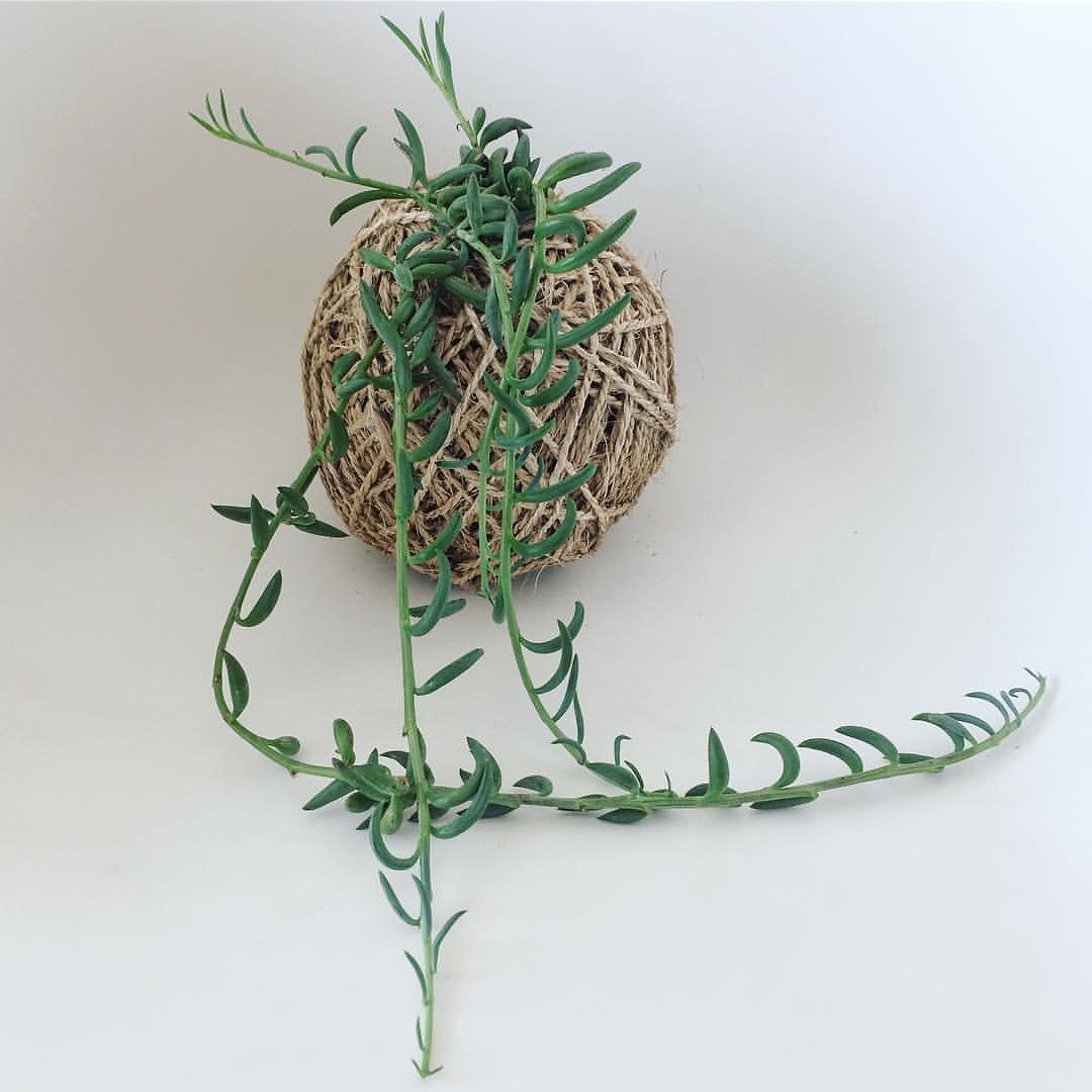 String of banana plant care - String Of Bananas Senecio Radicans Kokedama