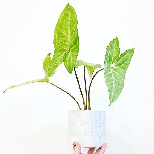 Linea Embossed Ceramic Planter
