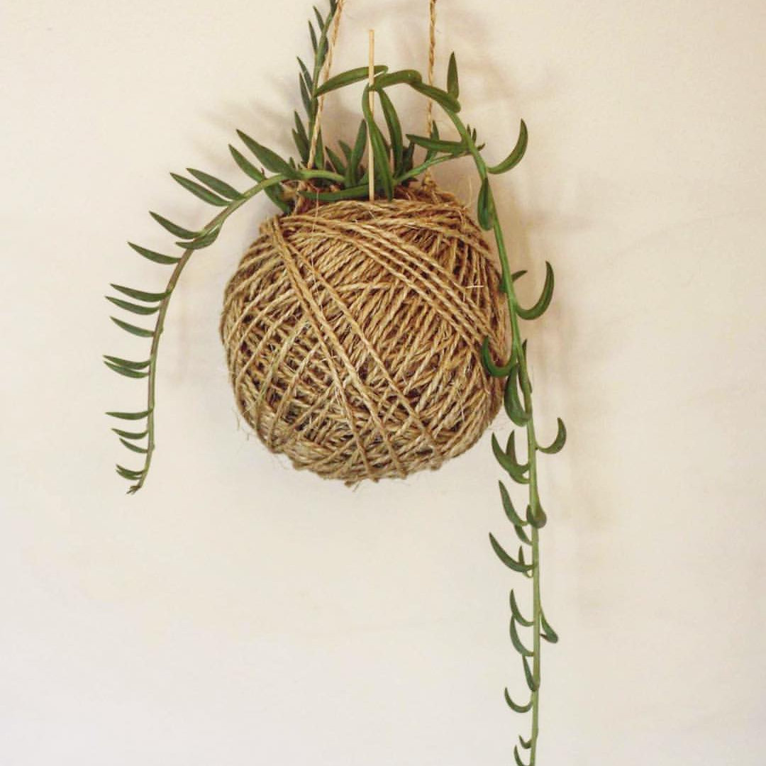 String of banana plant care - Treat Yo Self With A Growing Gift Our String Of Beans Kokedama Is Made From Natural Sisal This Kokedama Measures 20 X 17cm The Gorgeous String Of Bananas