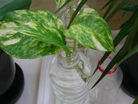 観葉植物(事務所のポトス)