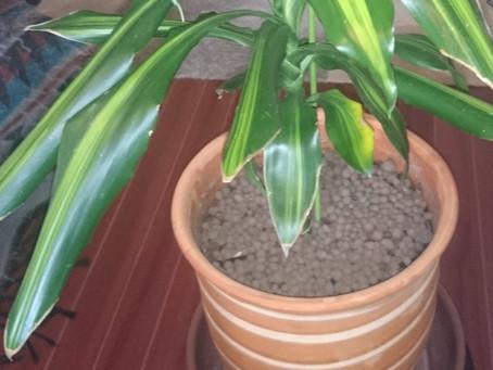 観葉植物(自宅偏)