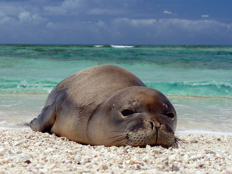 Eavesdropping on Hawaiian monk seals