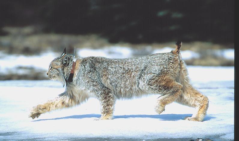 big lynx 2-1.jpg