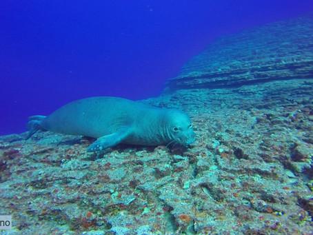 Hawaiian Monk Seal Karaoke Gone Wrong