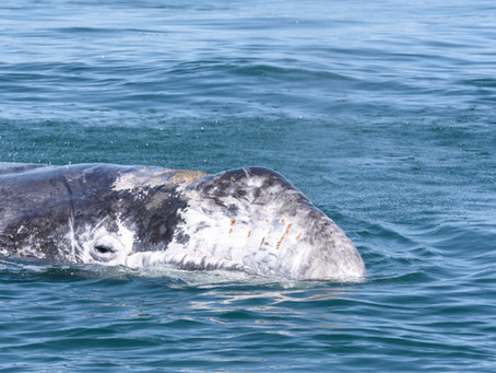 Behavior and bioenergetics of gray whales on their breeding ground.