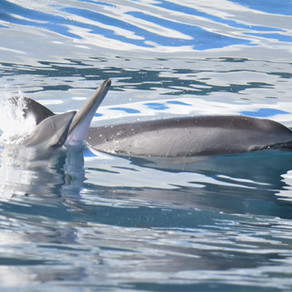 Spinner dolphins on tour