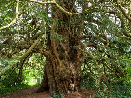 Tree of the Month - Yew (Taxus Baccata)