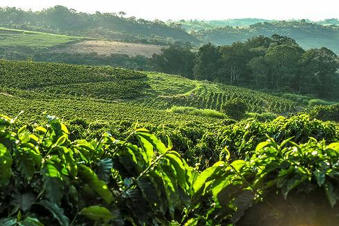 Coffee plantation in Brazil with a skyli
