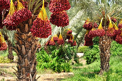 Dates palm branches with ripe dates. Nor
