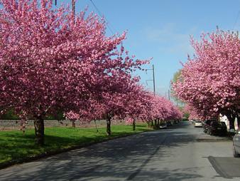 Cherry Blossom Time in Marietta