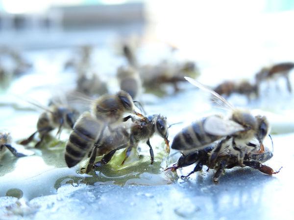 Abeilles et miel