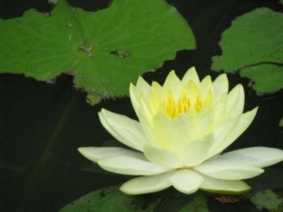 lotus-1322610-m.jpg