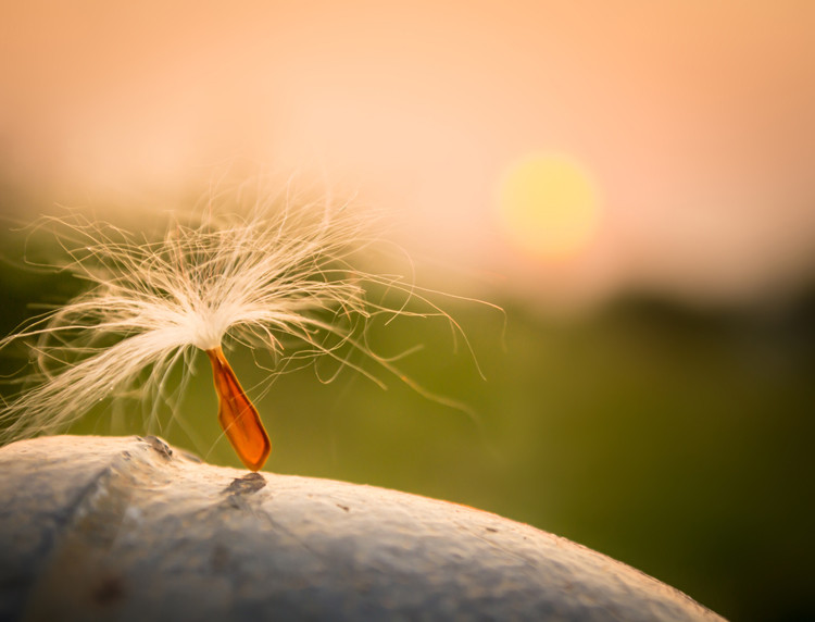 A feathery seed sits on top of an acorn with a setting sun in the background.