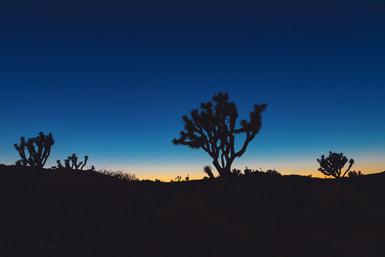 Joshua Tree In Blue Hour