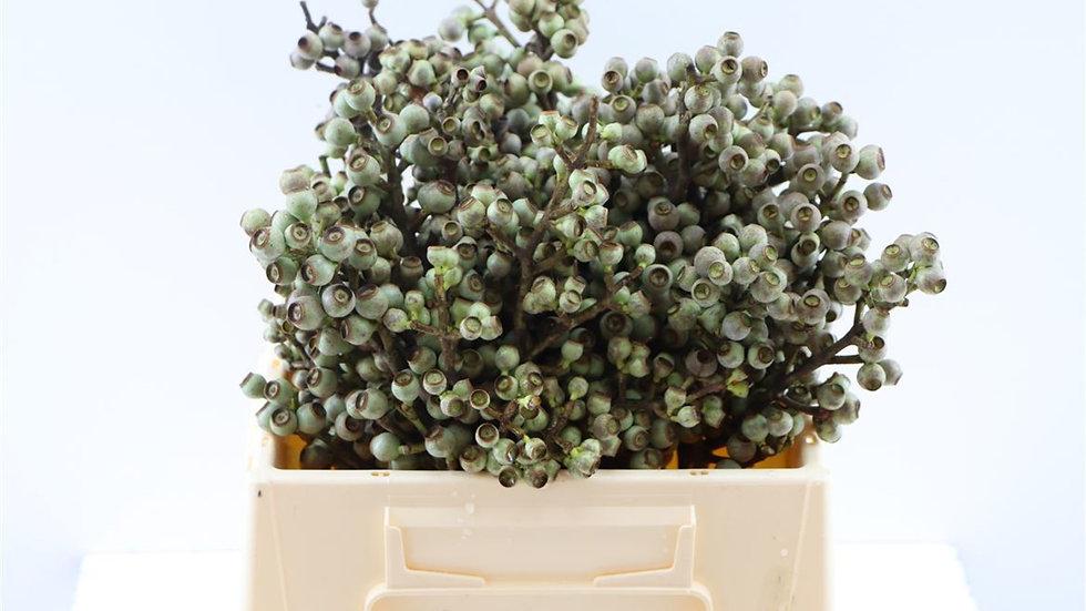 Eucalyptus Torreliana Samenknospen schmal 1x Bund