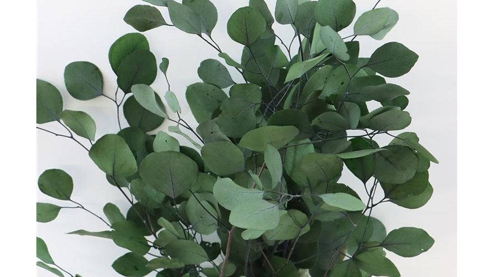 Eucalyptus Populus grün Bund