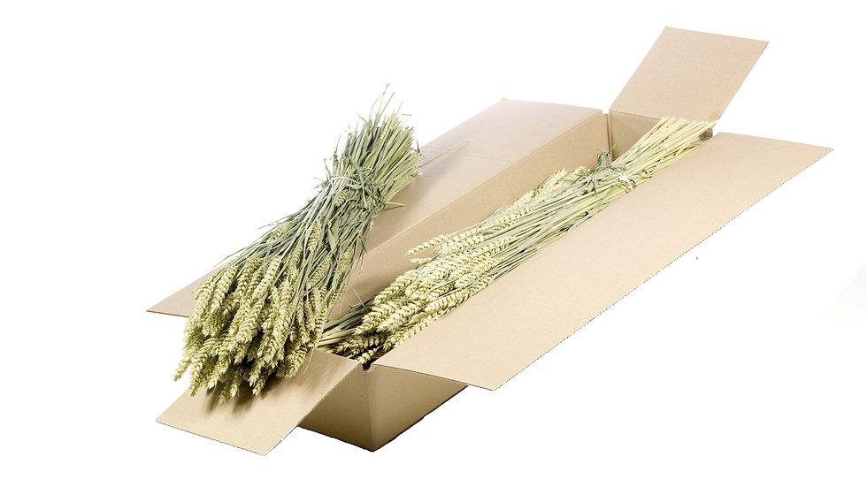 getrocknetes Weizen (Triticum) 4x Bund Naturgrün
