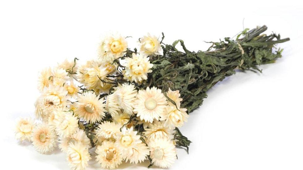 getrocknete Strohblumen - Helichrysum naturweiß 20x Bund