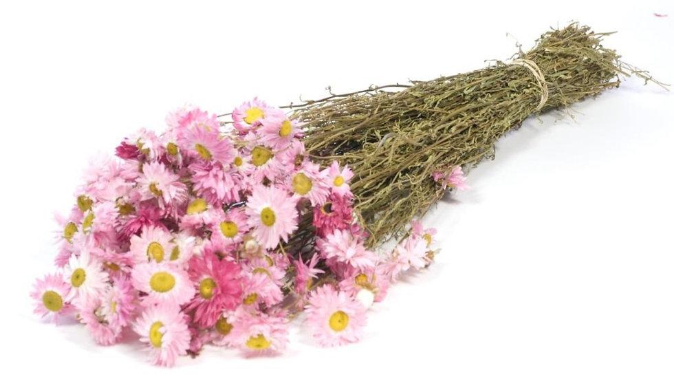getrocknetes Gänseblümchen - Acroclinium Rosa 4x Bund