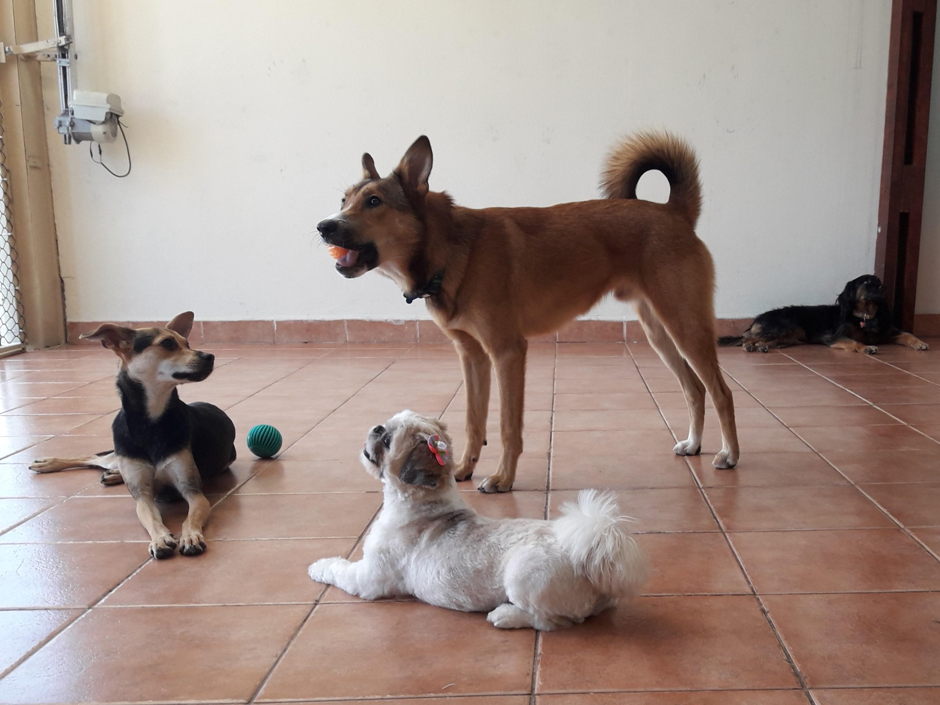Dogs-bolinha-bangalo