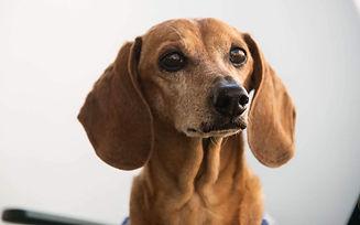 close no rosto cachorro da raça daschund marrom