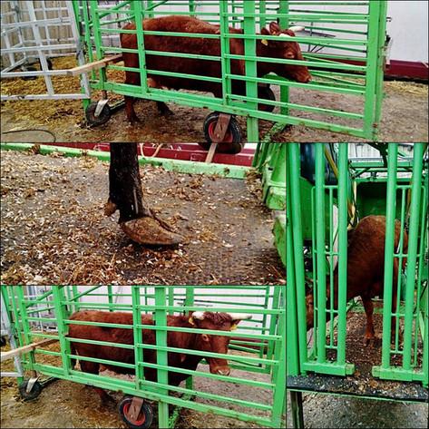 Kleine Kühe - Großer Klauenpflegestand 😉