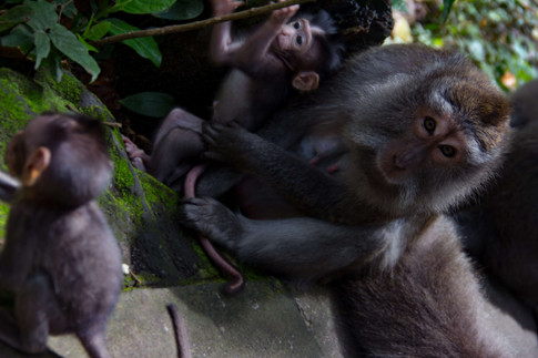 Ape's of Ubud Indonesia