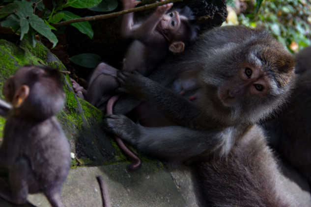 Ape's of Ubud Indonesia