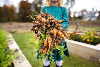 Little Girl Harvests Carrots