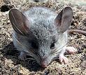 Pinon_Mouse_Peromyscus_truei_Derek_Hall_