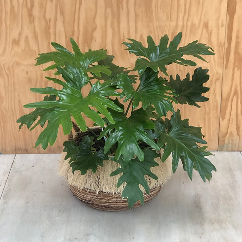 Philodendron in Fringed Basket