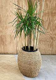Dracaena in a Seagrass Pot