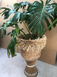 Monstera in fringed basket