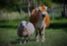 Sheep-Vs-Cow_edited.jpg