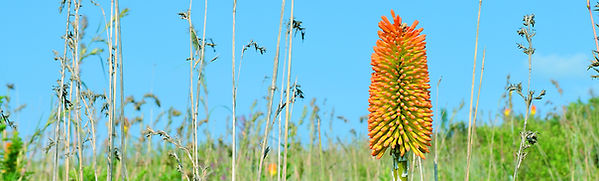 Flora banner_poker plant.jpg