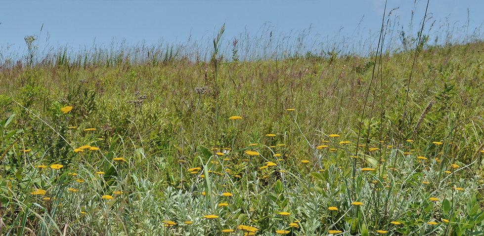 Yellow flowers flowy grass.jpg