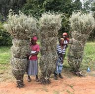 Bush tea collectors
