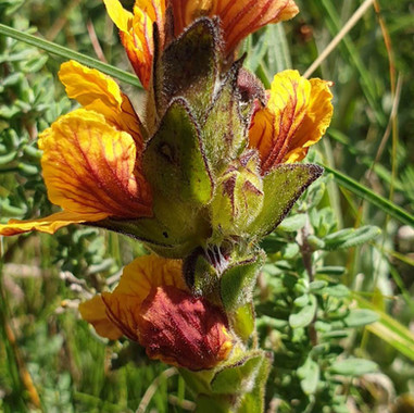Alectra capensis