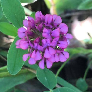 Trifolium africanum
