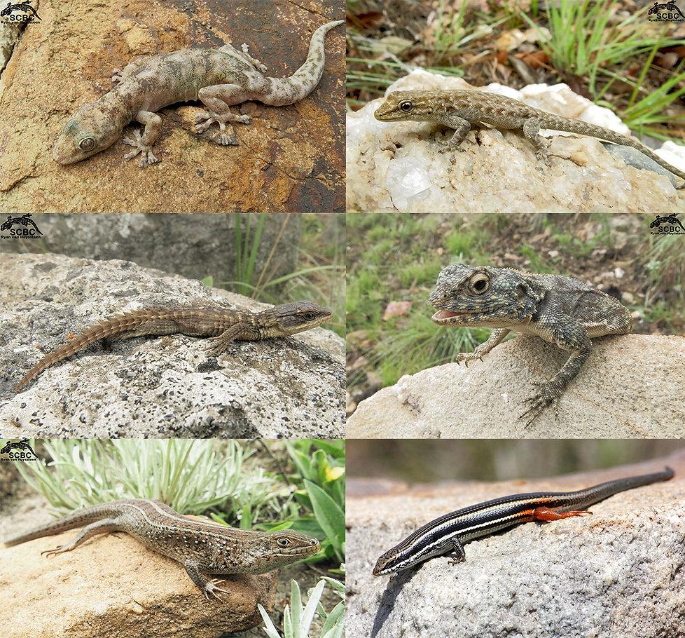 Lizards-SCBC web.jpg