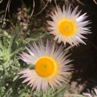 Helichrysum cf. junodii