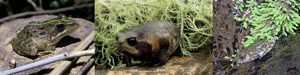Frogs-SCBC web.jpg