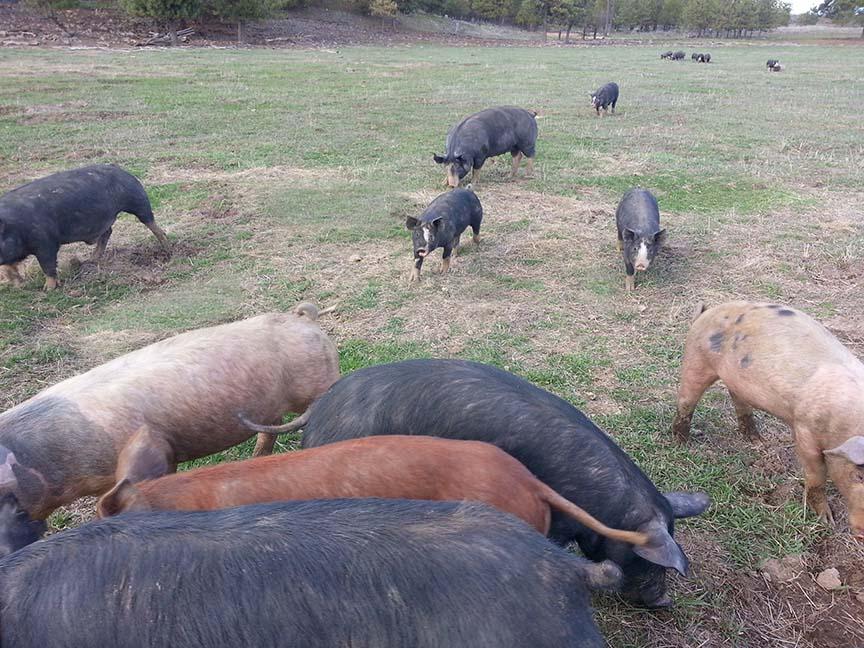 Piggy stampede!