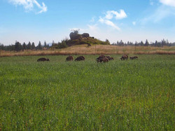 Pigs in the field