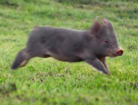 Piglets Gone Wild!
