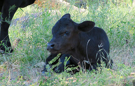 More Happy Calves :)