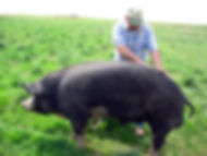 Gary taking a break to give a back rub to one of the big hogs on the Ranch