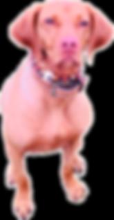 Juna, Vizsla, Kette für große Hunde